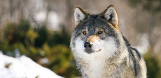 Det er stort debatt i Noreg om det skal vere lov å felle fleire ulvar. (Foto: Eirik F. Brandsborg/ Flickr)