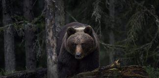 Brunbjørnen er det største rovdyret på det norske fastlandet. Bjørnen et mykje bær for å gjere seg klar, før han går i hi. (Foto: Per Harald Olsen/NTNU/Flickr)